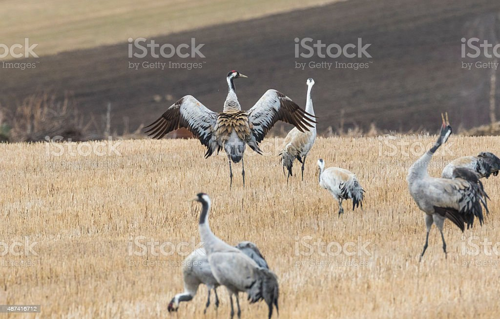 Cranes on a field stock photo