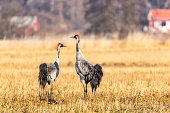 Cranes walking on field  in Sweden