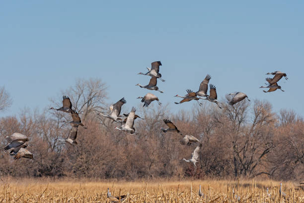 Cranes taking off from a Field stock photo