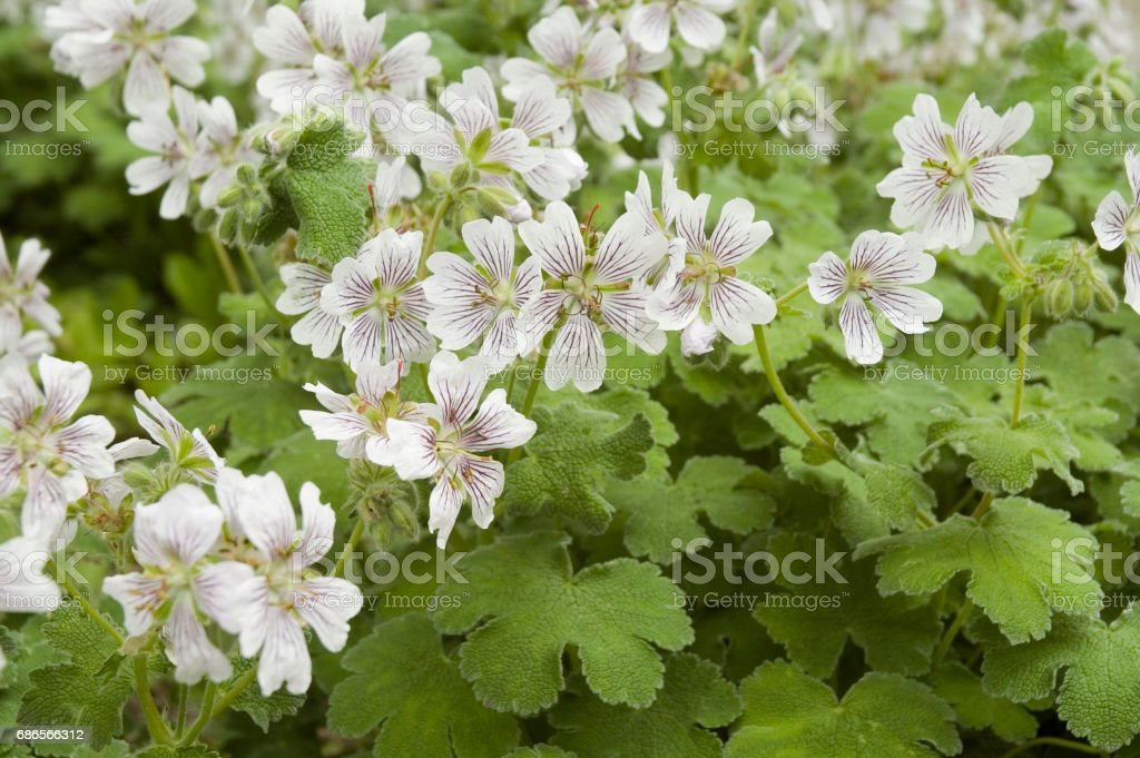 cranesbill flowers royalty-free stock photo