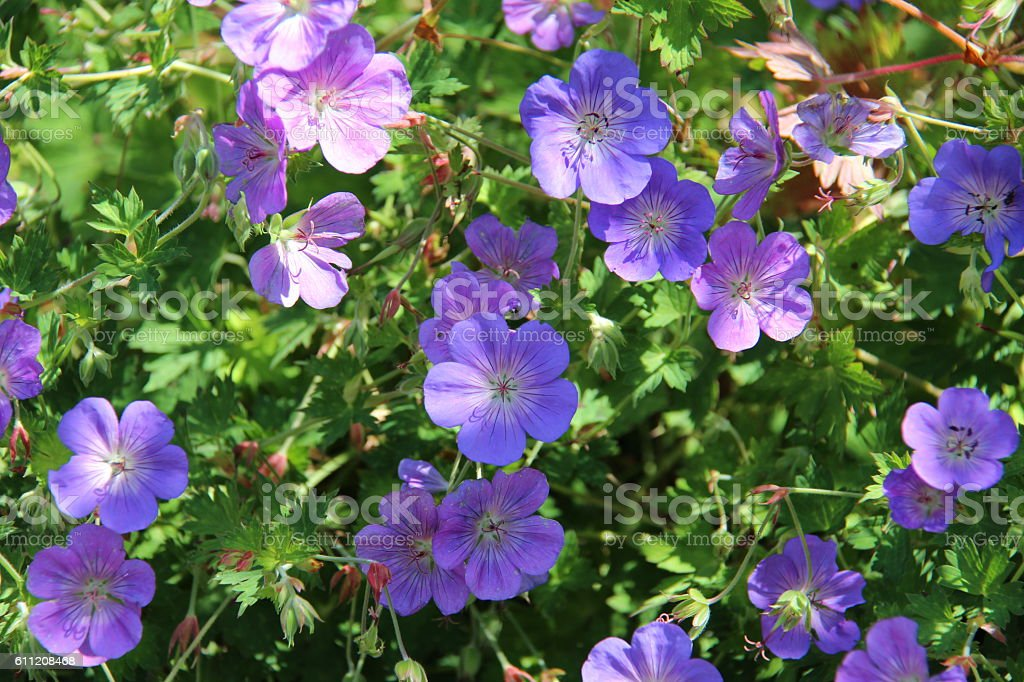 Cranesbill stock photo