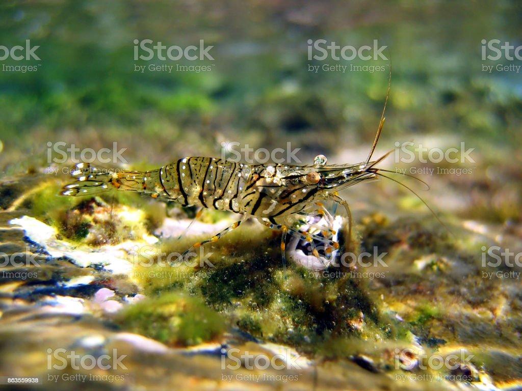 Crevette grise - crevette grise - Photo