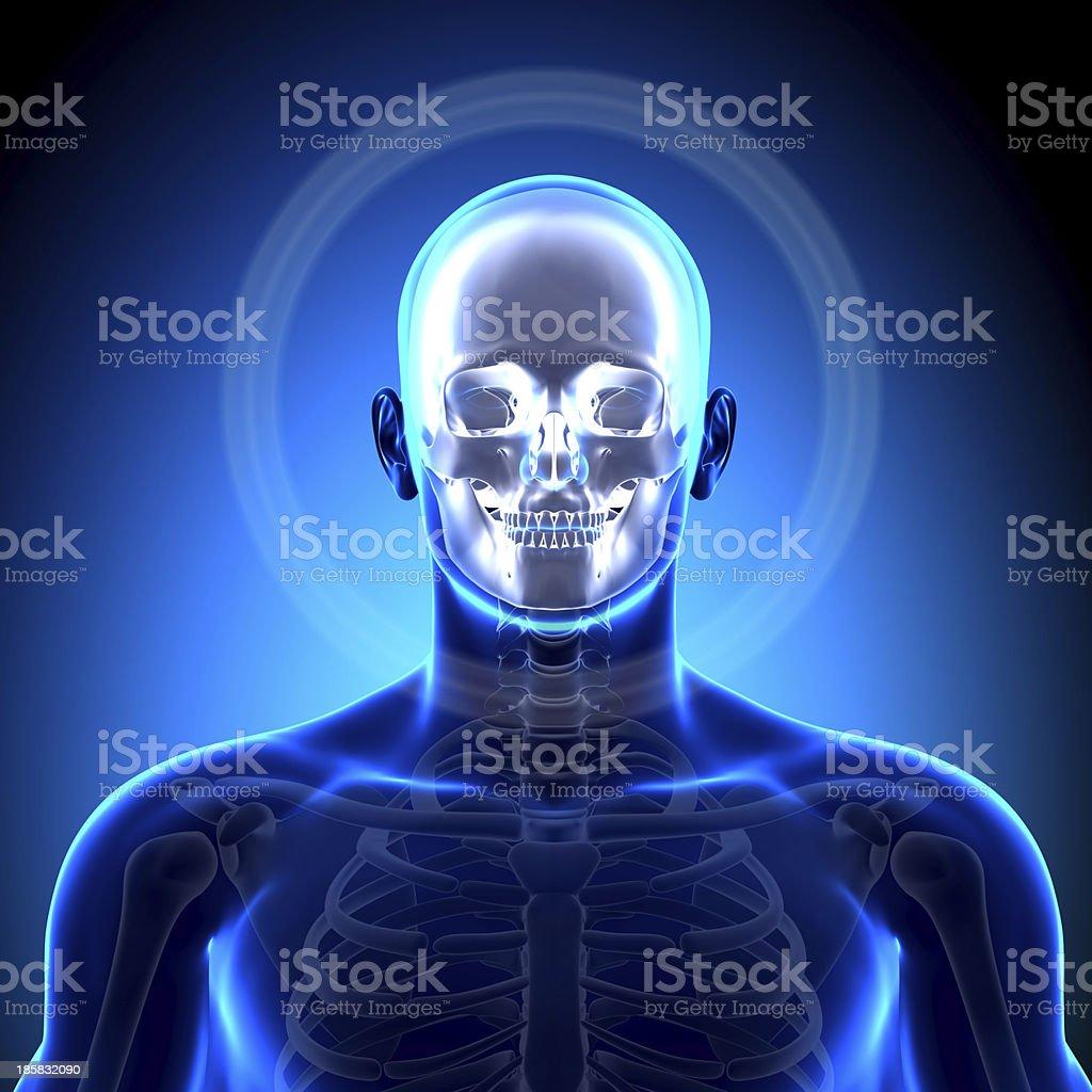 Fotografía de Cráneo Huesos Del Cráneo Mandíbula Anatomía y más ...