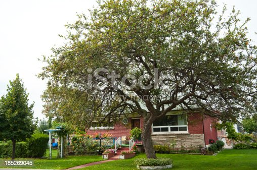 A large crab- apple tree in front of an old style red brick house.