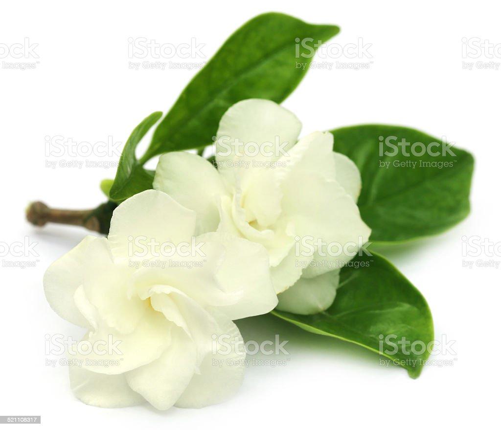 Crape Jasmine Or Tagar Flower Of Indian Subcontinent Stock Photo