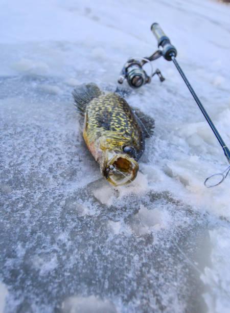 crappiefischen auf eis - crappie angeln stock-fotos und bilder