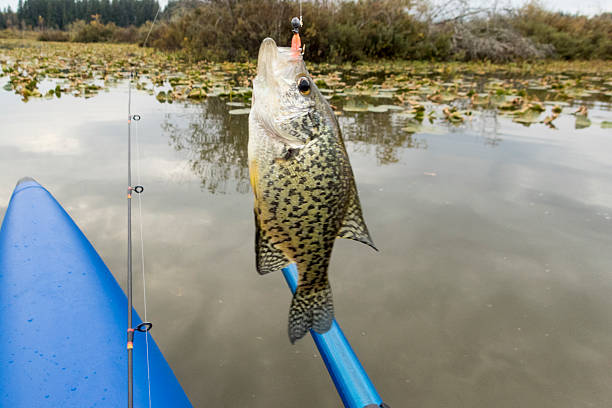 crappie hooked jig in mouth sunfish pan fish fishing pole - crappie angeln stock-fotos und bilder