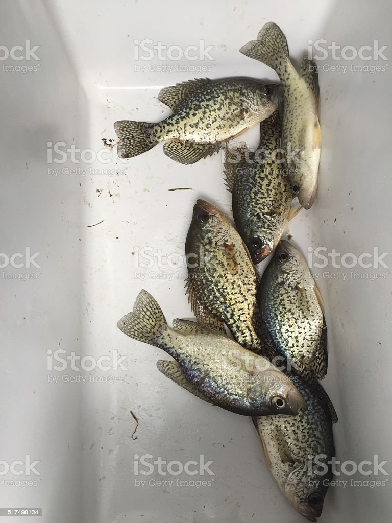 Crappie in a Cooler stock photo