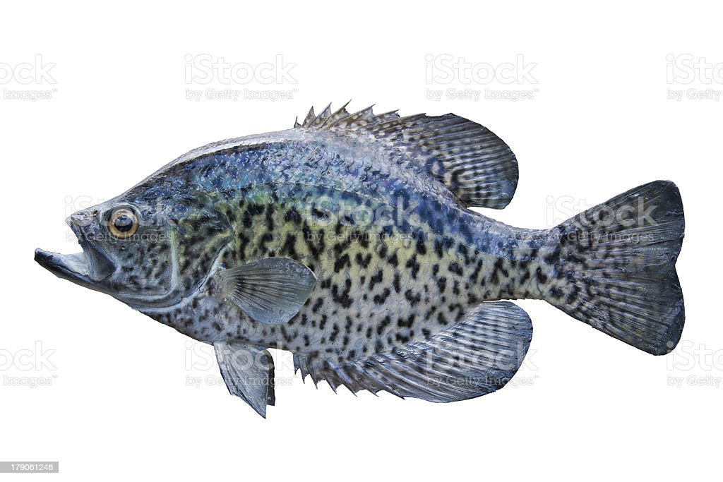 Crappie isolated on white stock photo