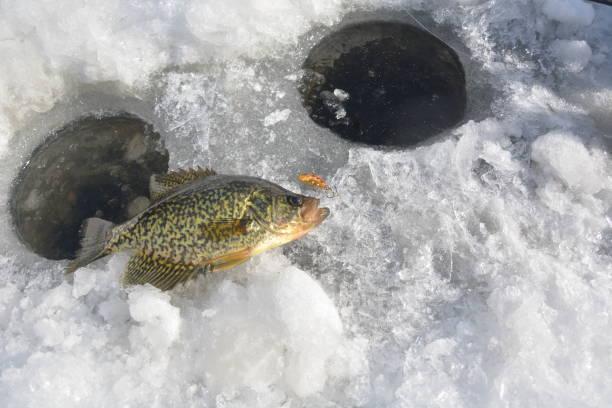 crappie on ice - crappie angeln stock-fotos und bilder