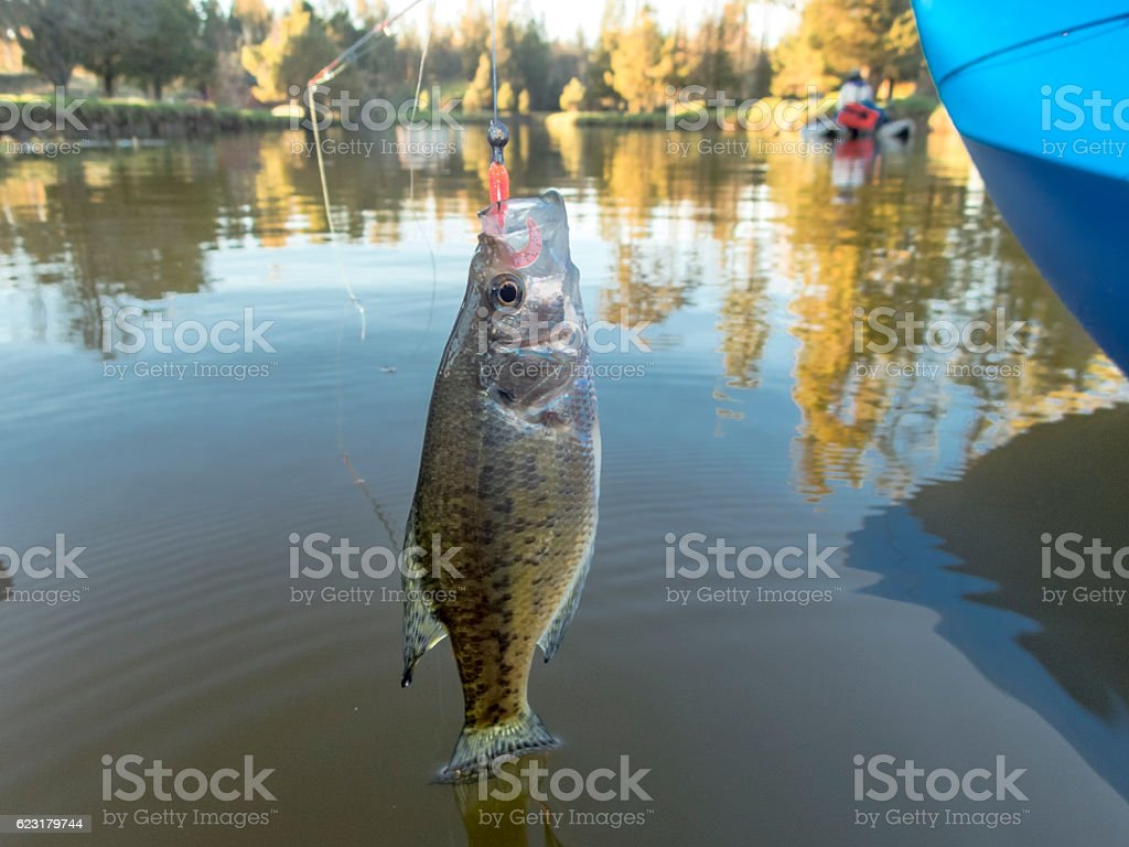 Crappie Sunfish Hooked Jig in Mouth Boat with Woman Background stock photo