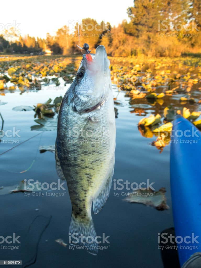 Crappie Sunfish or Pan fish Jig Hooked Above Water stock photo