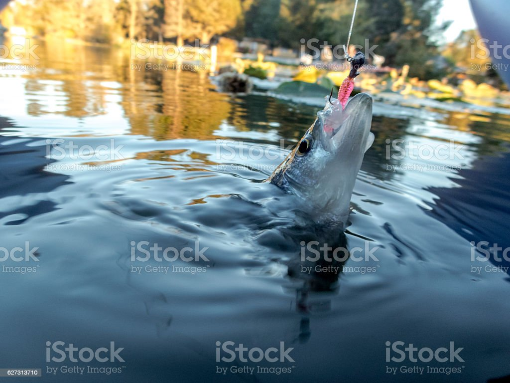 Crappie Sunfish or Pan fish Jig Hooked in Water stock photo