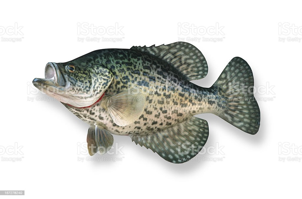 Crappie with Clipping Path royalty-free stock photo