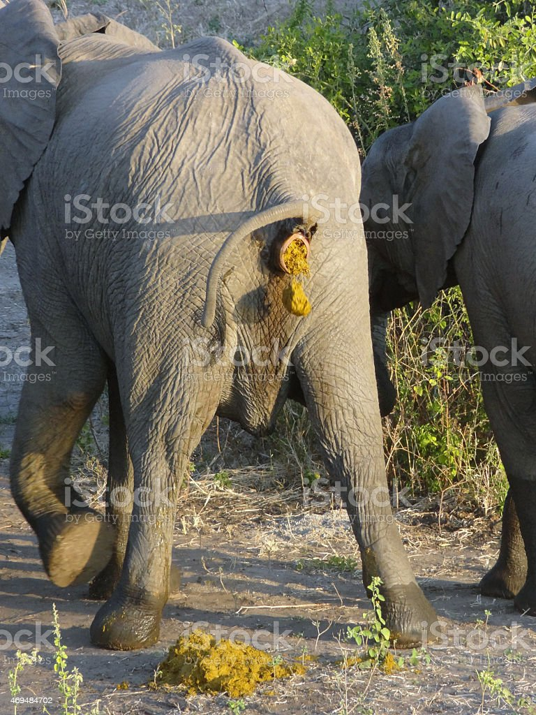 crapping elephant stock photo