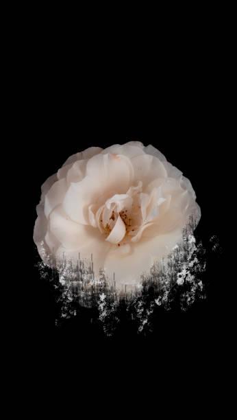 Crashed ivory rose flower. Themes for smartphone. stock photo
