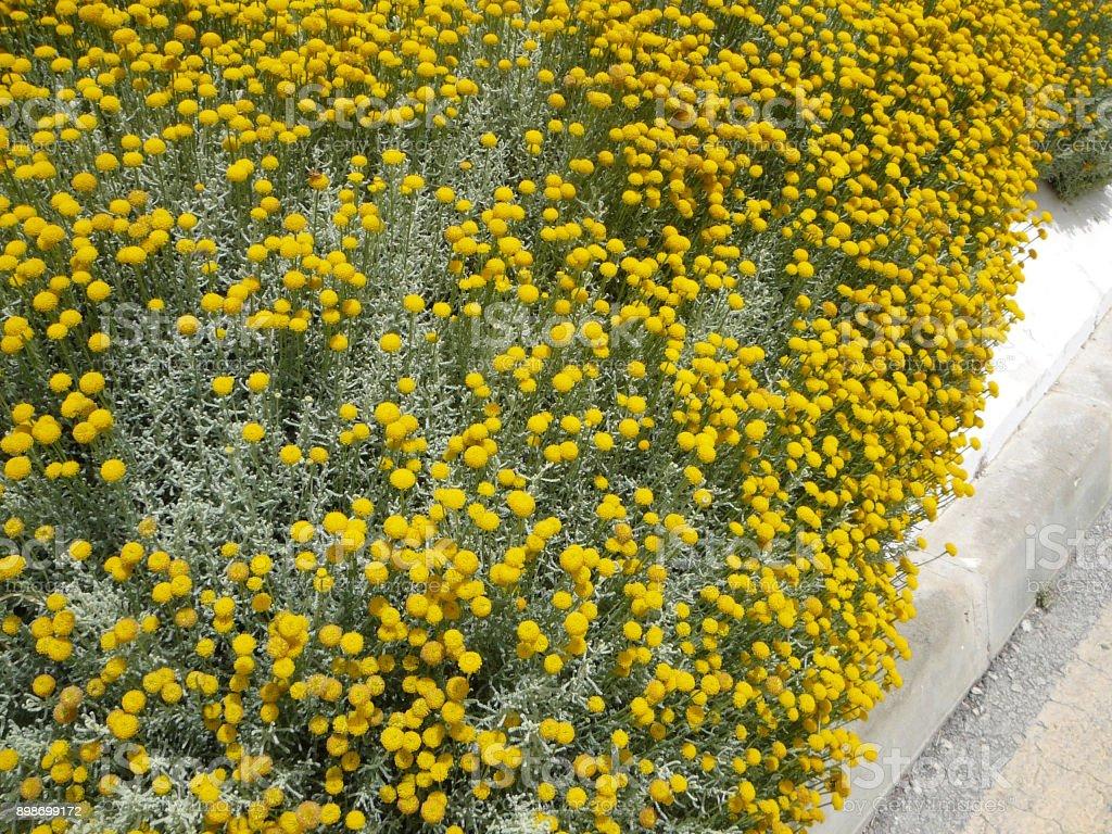 Craspedia Billy Balls Yellow Flower Stock Photo Download Image