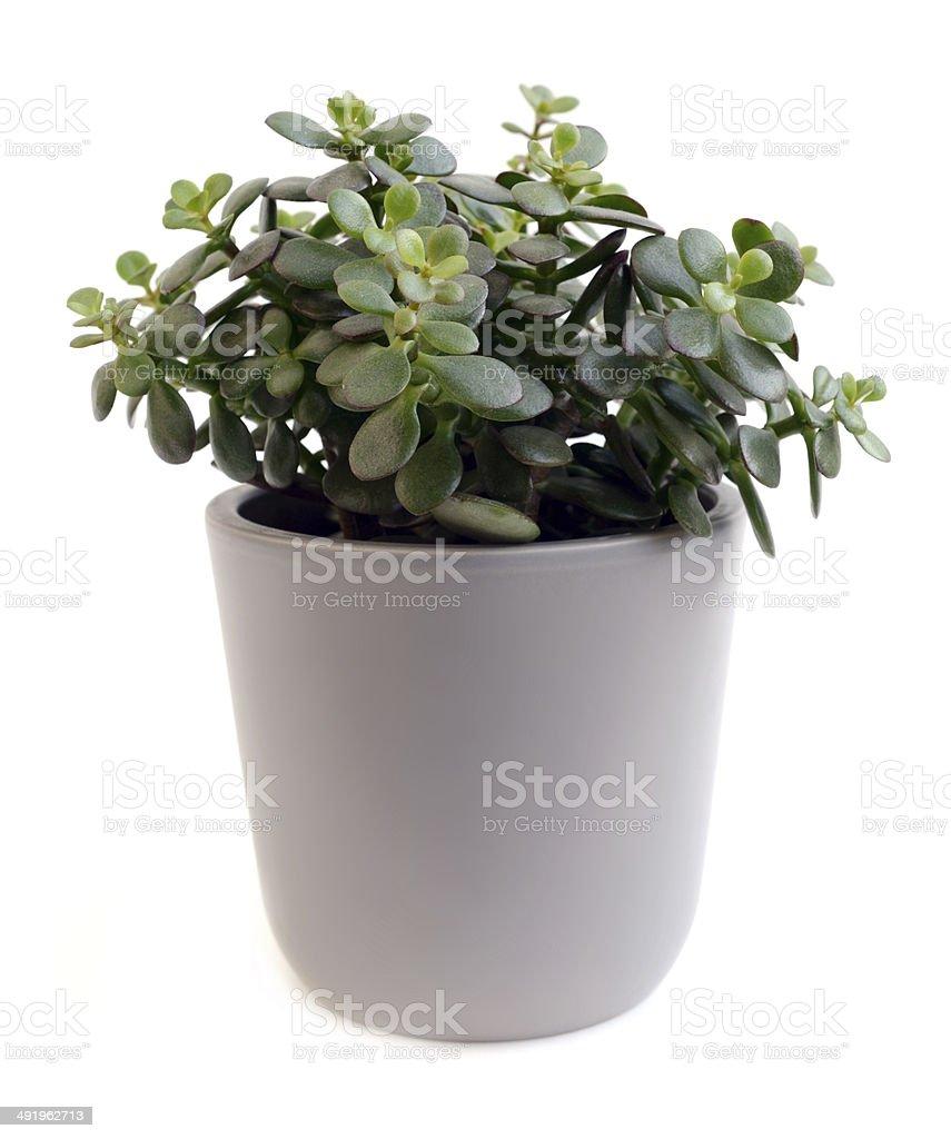 crassula arborescens stock photo