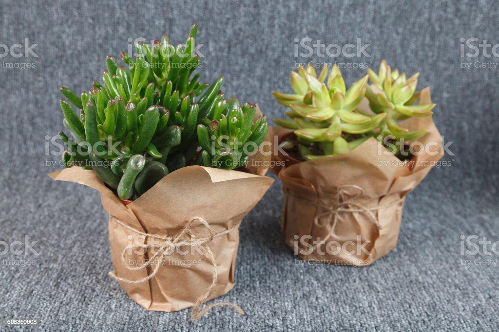 """Crassula ovata 'Gollum' and Sedum adolphii """"Golden Glow"""" succulent plants stock photo"""