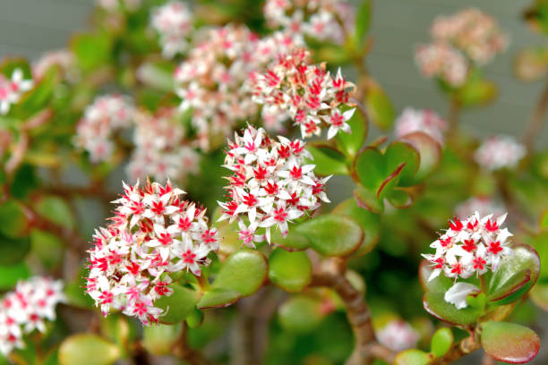 Crassula ovata/ Jade plant/ Money plant Flower Crassula ovata, which is commonly called jade plant, money plant or dollar plant, is a popular branched succulent shrub, native to South Africa. Tiny flowers, which are white to pink, may appear in spring. They are widely grown as house plants, but need very bright light to grow well and a sunny position if they are to flower. crassulaceae stock pictures, royalty-free photos & images