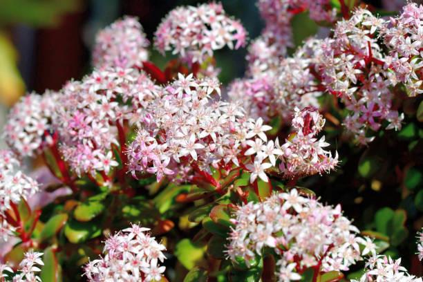 Crassula ovata / Jade Pflanze / Geld Pflanze Blume – Foto