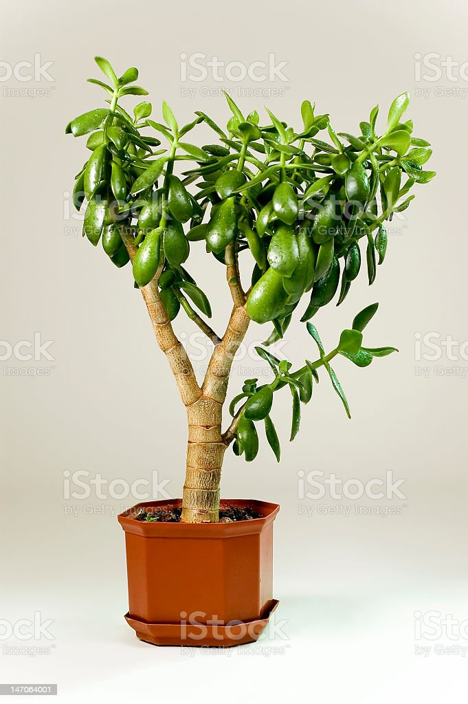 Crassula ovata (money tree) stock photo