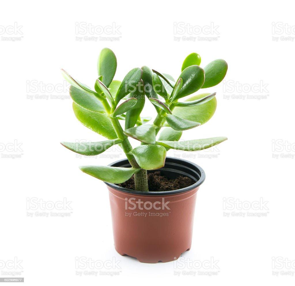 crassula ovata stock photo