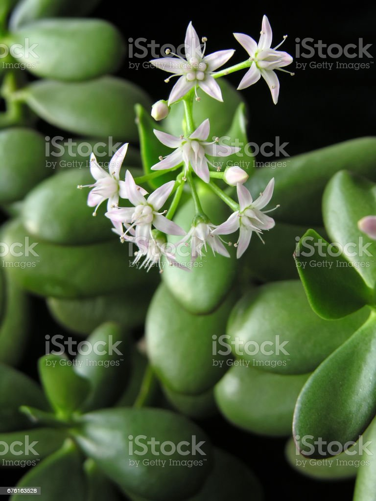 Crassula Ovata With Flowers Known Also As Jade Plant Or Money Tree ...