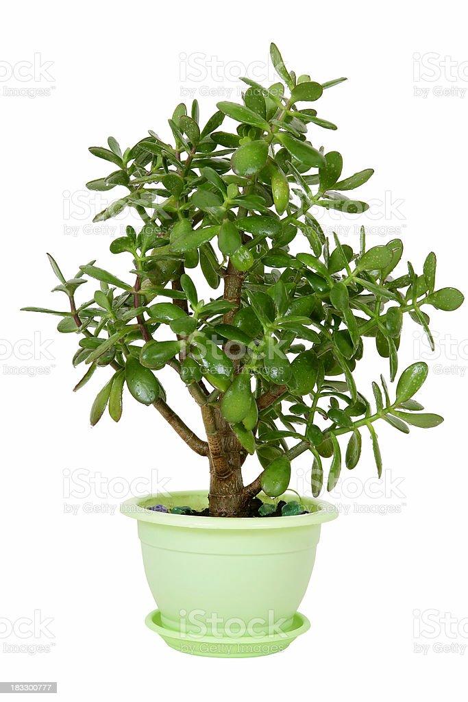Crassula plant on white royalty-free stock photo