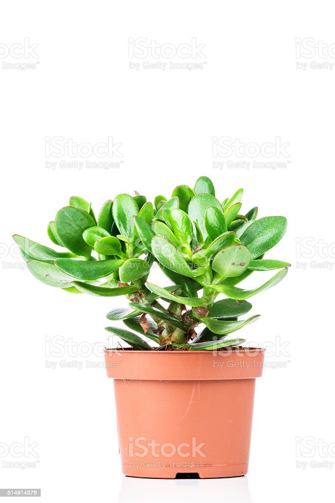 Crassula plant stock photo