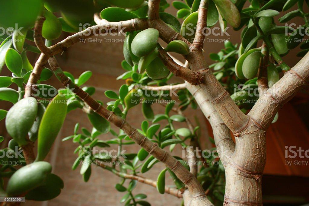 Crassula portulacea houseplant close up stock photo