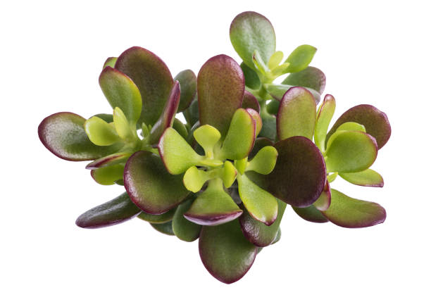 Crassula portulacea mini Crassula portulacea plant isolated on white background crassulaceae stock pictures, royalty-free photos & images