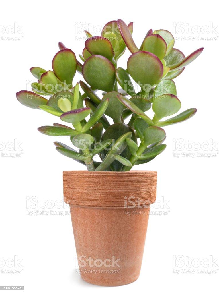 Crassula portulacea plant royalty-free stock photo