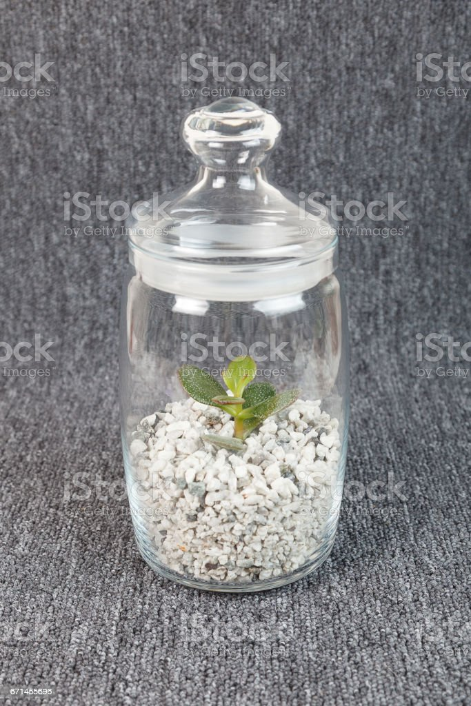 Crassula succulent plant growing in a glass jar i stock photo