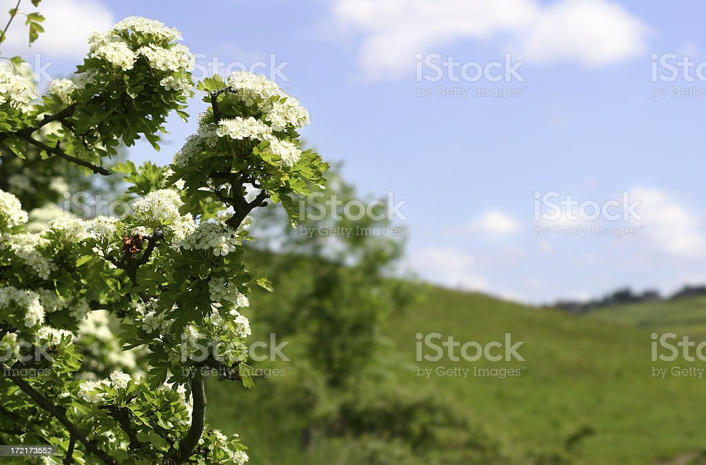 Crataegus Monogyna (Hawthorne Tree) royalty-free stock photo