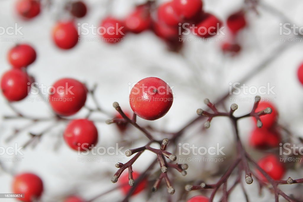 Crataegus red fruit detail stock photo
