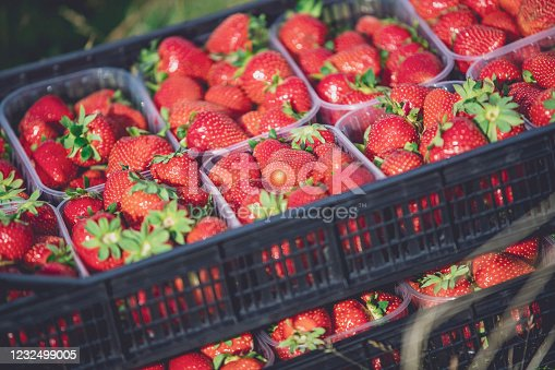 A view displaying stacked crates full of strawberries, ripe & fresh and ready to be sold on a Sunday market.