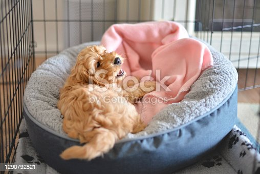 Cockapoo or Spoodle puppy crate training