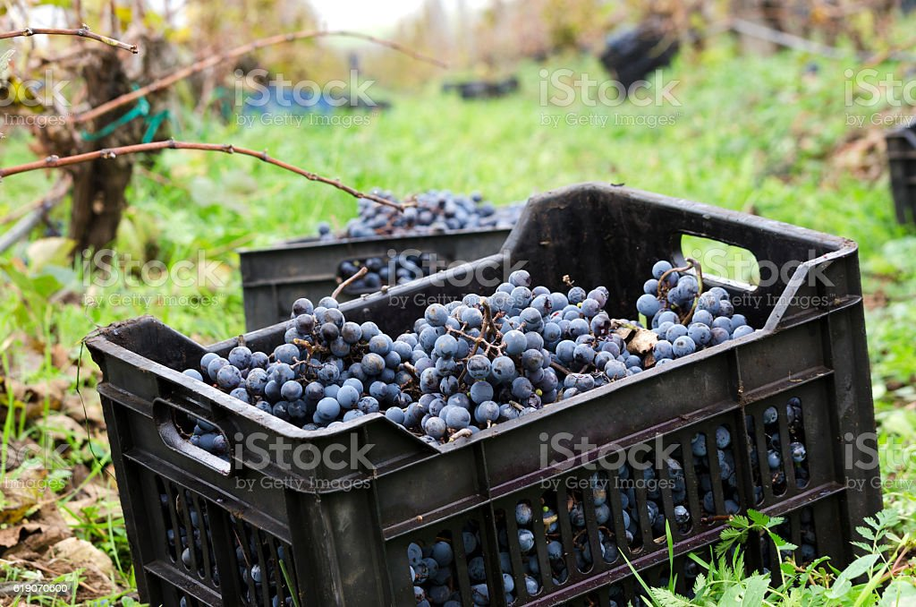 Crate with grapes in vineyard row stock photo