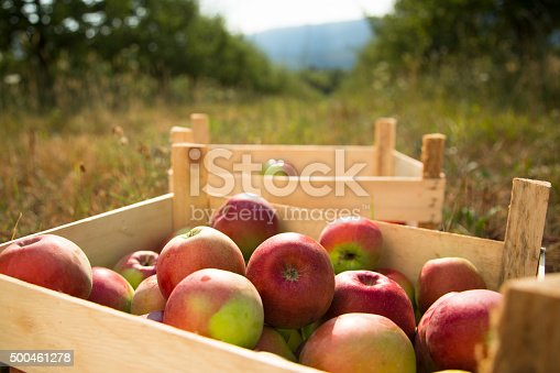 istock Crates of Apples in after picking 500461278
