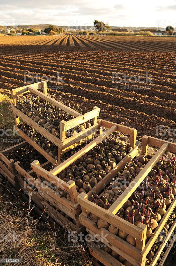 Crates of Jersey Royal potatoes in farm field stock photo