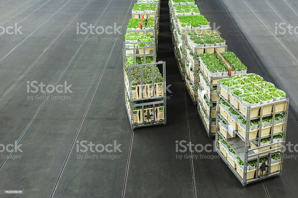 Crates with flowers on a Dutch flower auction royalty-free stock photo