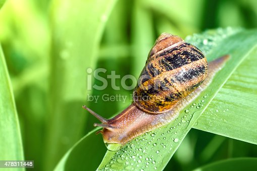 Close-up photography of one garden common brown snail animal, crawling on large green leaf with drop water dew in morning sunlight. Selective focus on the animal.