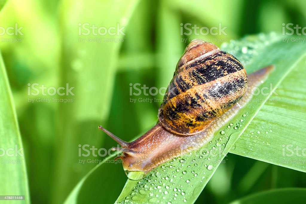 Crawling snail on green leaf with dew drop stock photo