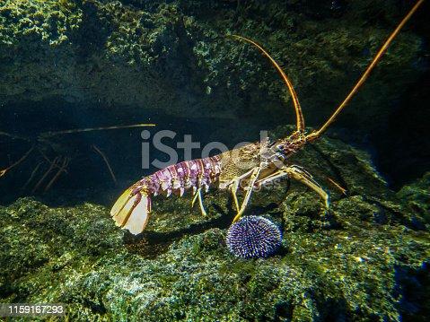 Crawling spiny lobster in aquarium de La Rochelle, France