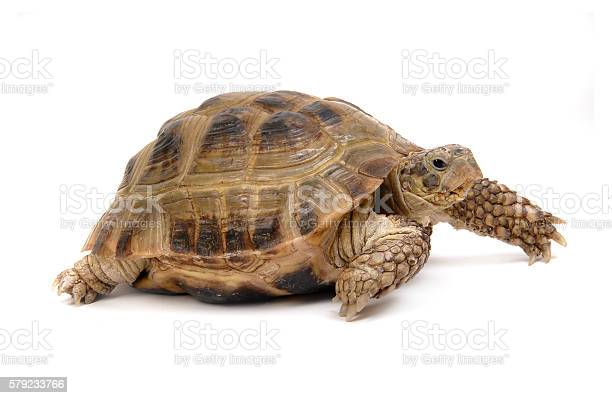 Crawling tortoise on a white background picture id579233766?b=1&k=6&m=579233766&s=612x612&h=zrijhezron9bykbgtl4v1ym47e3pkji1lwqeanp2fsi=