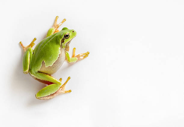 crawling tree frog isolated on white - croak stock pictures, royalty-free photos & images