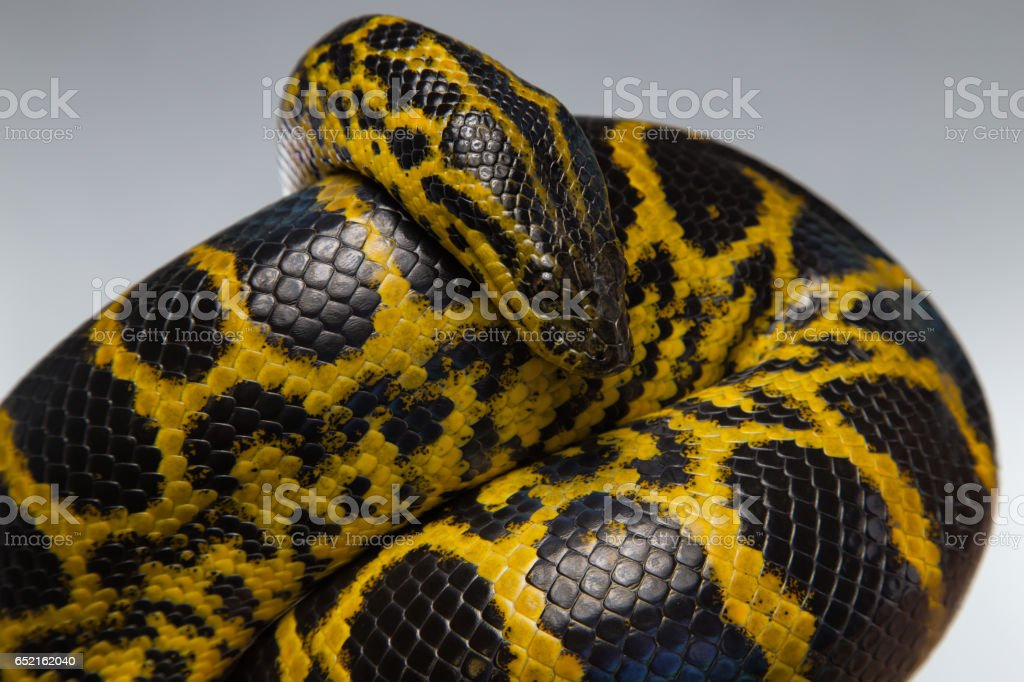Crawling yellow black anaconda - Photo