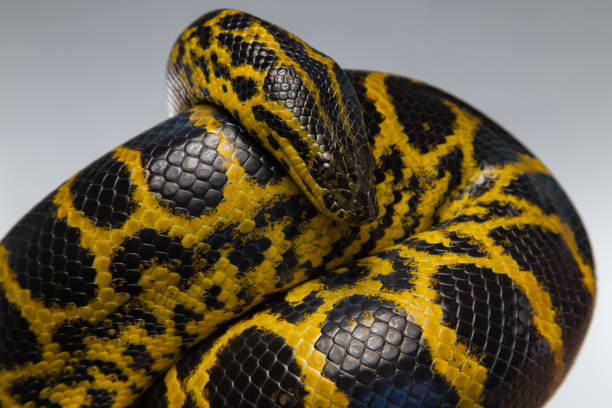 crawling yellow black anaconda - anaconda photos et images de collection
