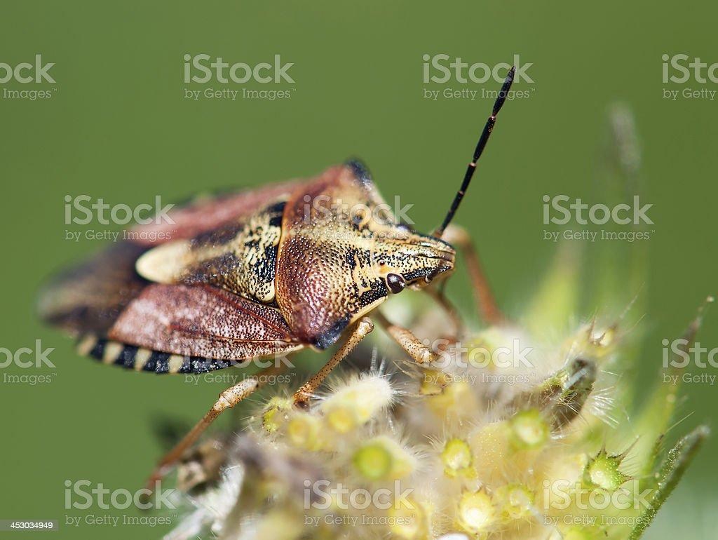 Crawly sloe bug (dolycoris baccarum) stock photo